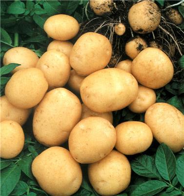 Как стать специалистом по картофелю
